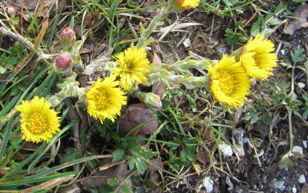 De bloemen van klein hoefblad.