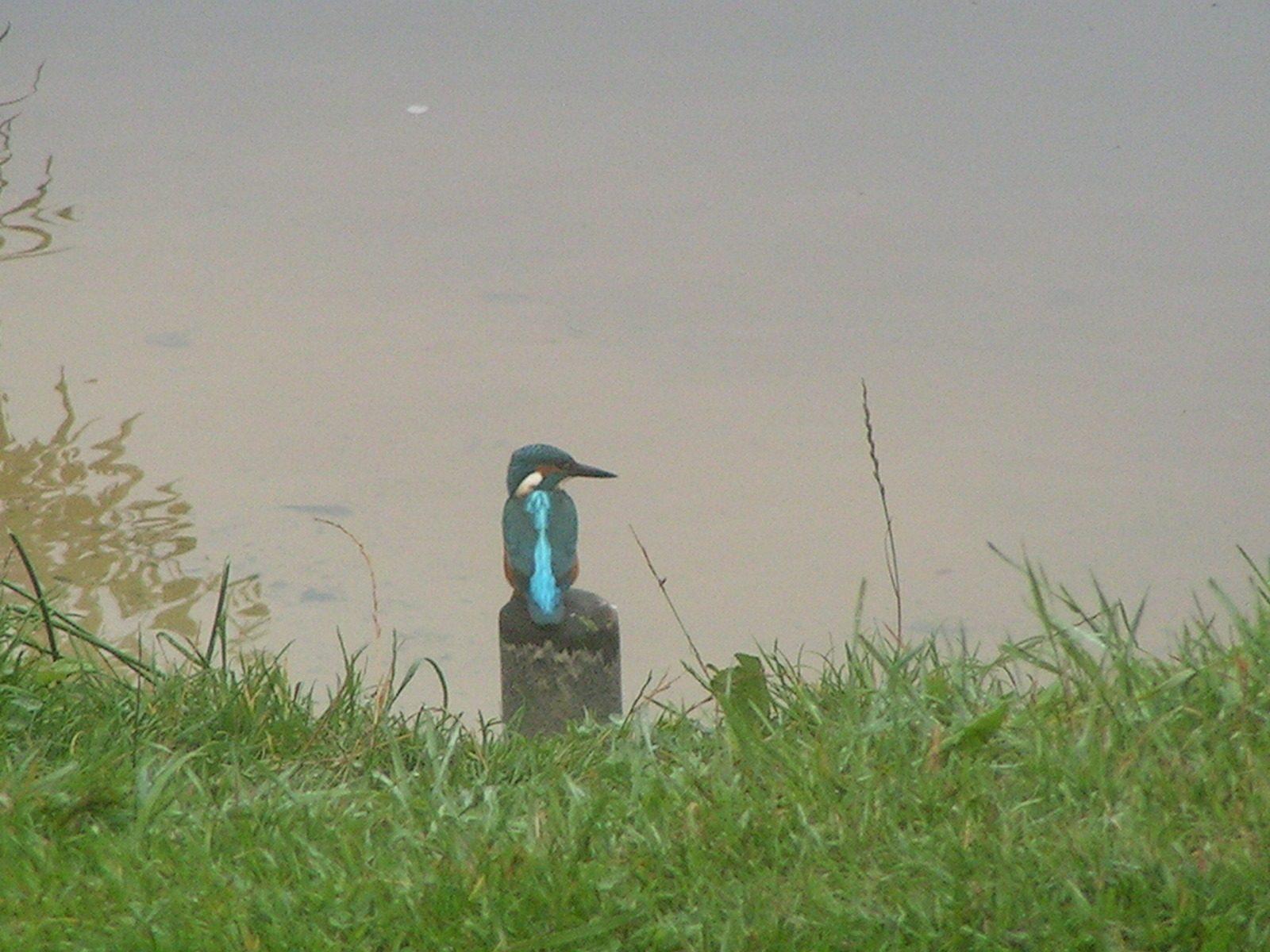 ijsvogel  bij de Drensche Aa te Schipborg