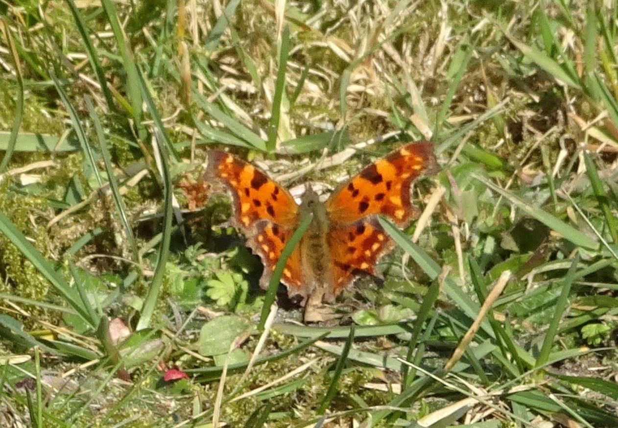 De eerste vlinders zijn weer actief. Al minstens 6 citroenvlinders gezien.